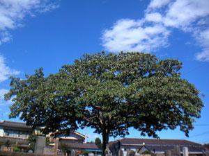 夏・緑一色のアオギリ