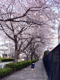 幼稚園前の桜並木