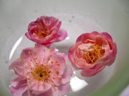 八重の梅の花