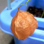 茶色くなった種袋