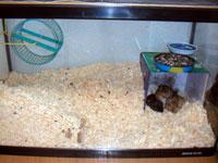 かたまって寝ているスナネズミ達