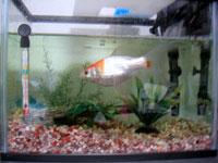 水草のない金魚の水槽
