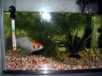 水草のある金魚の水槽