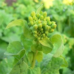 菜の花のつぼみ